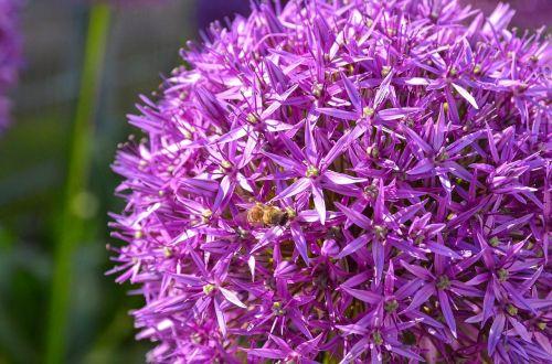 allium ornamental onion garden plant