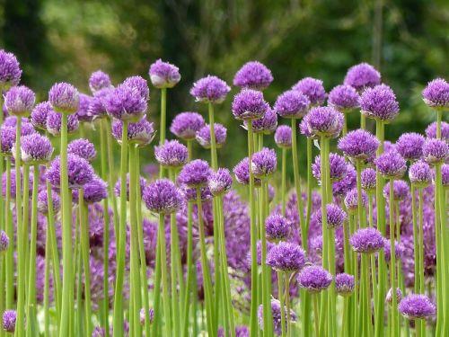 allium bulbs purple