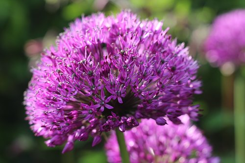 allium  flower  purple