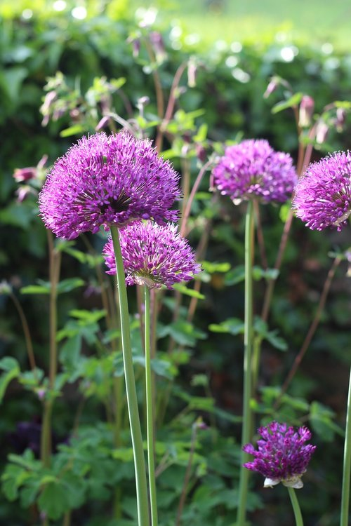 allium  purple  flower