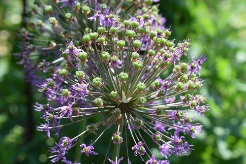 allium  onion  garden