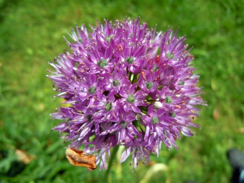 allium leek flower sphaerocephalon