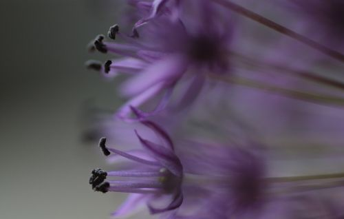 allium flowers plant