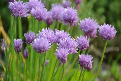 allium  herb  allium schoenoprasum