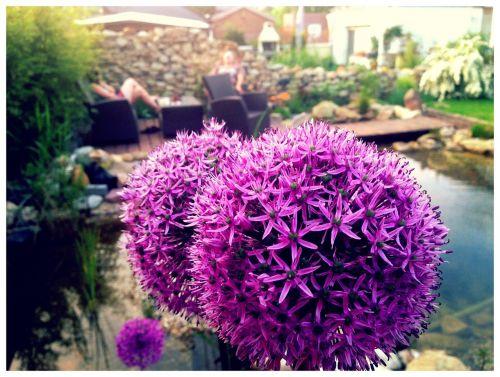 allium ornamental onion garden