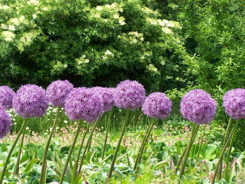 allium flowers blossom