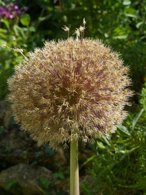 allium giganteum leek blossom