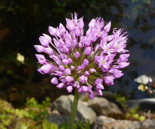 allium giganteum amaryllidaceae plant