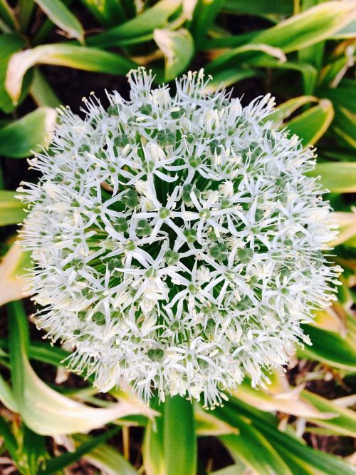 allium giganteum white blossom