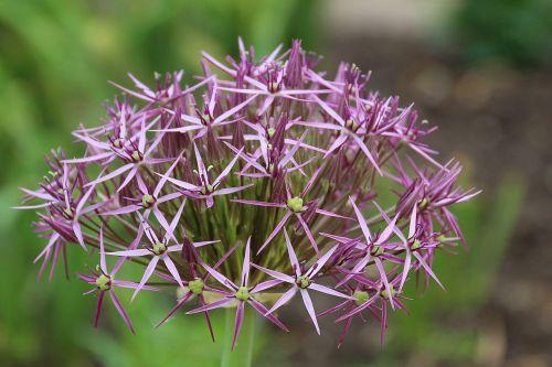 allium-lauch flowers allium