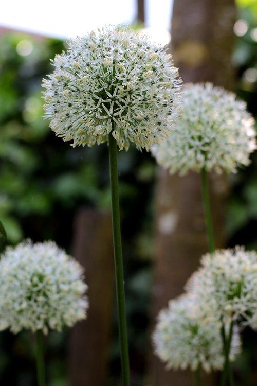 allium ping pong  white  flowers