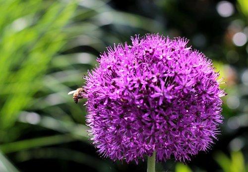 allium purple sensation  bee  light