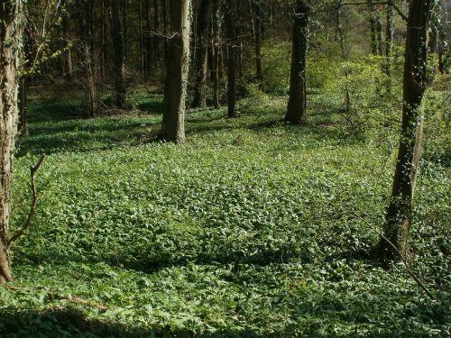allium ursinum bear-garlic wild