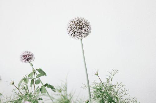 alliums allium flowers flowers