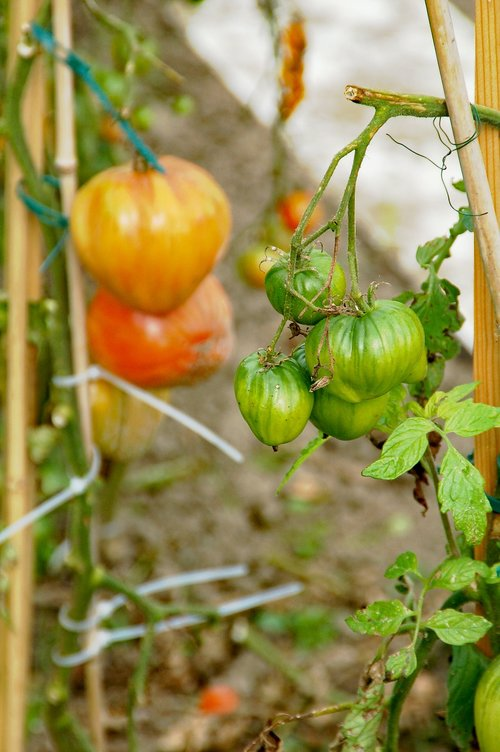 allotment  tomatoes  growth