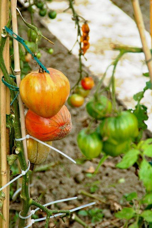 allotment  tomatoes  development