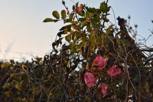 allotment  roses  dusk