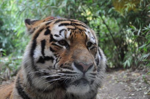 allwetterzoo münster siberian tiger