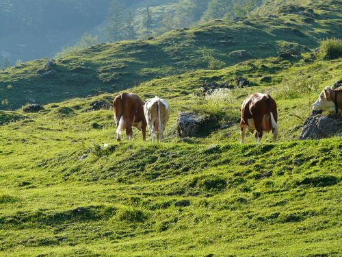almabtrieb cows viehscheid