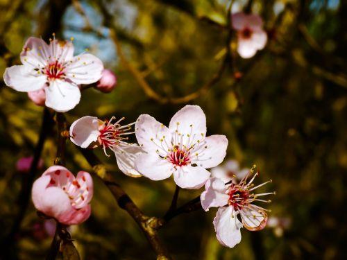 almond blossom steinobstgewaechs flowers