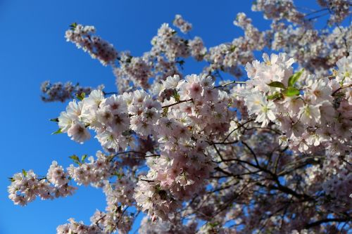 almond blossom mandelbaeumchen spring awakening