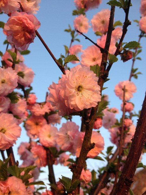 almond florets  klarkien