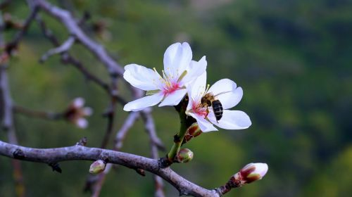 almond flower spring flowering