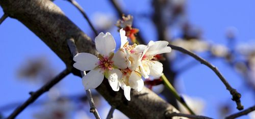 almond flower flowering spring
