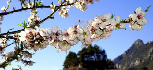 almond flowers spring flowering
