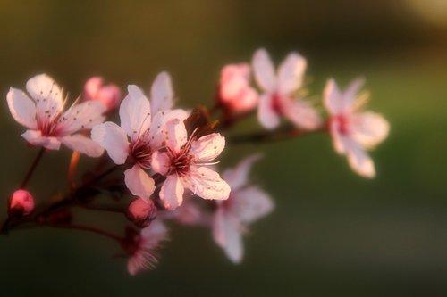 almond flowers  flowers  spring