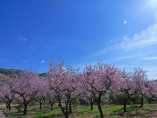 almond grove flowering almond trees almond blossom