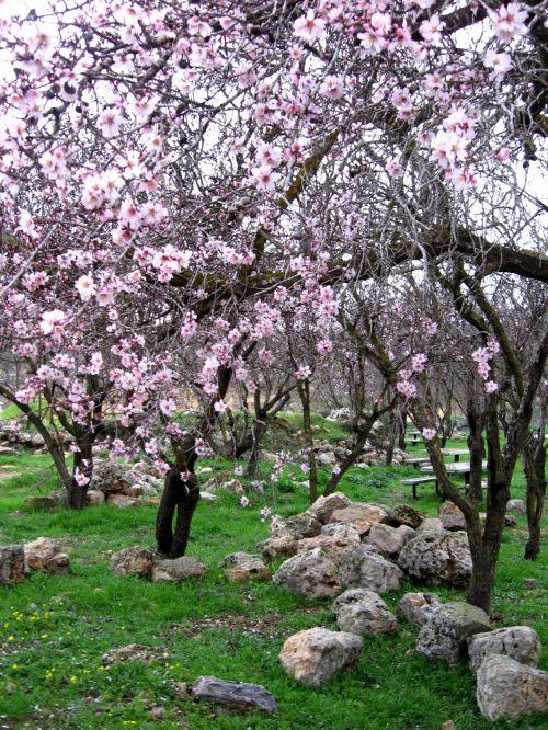 Almond Grove Full Bloom