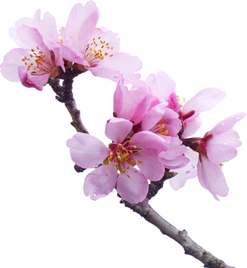 almond tree flowery branch flower
