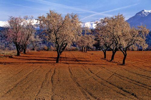 almond tree trees aragon