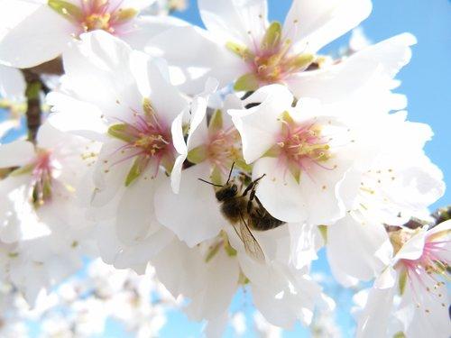 almond tree  flower  bee