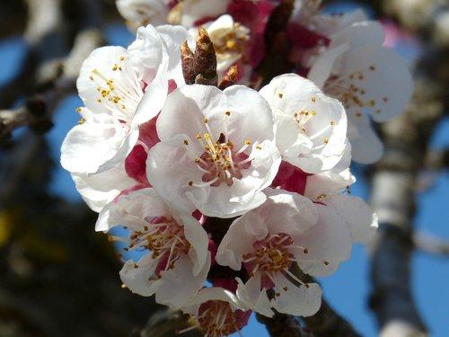 almond tree  flower  knob