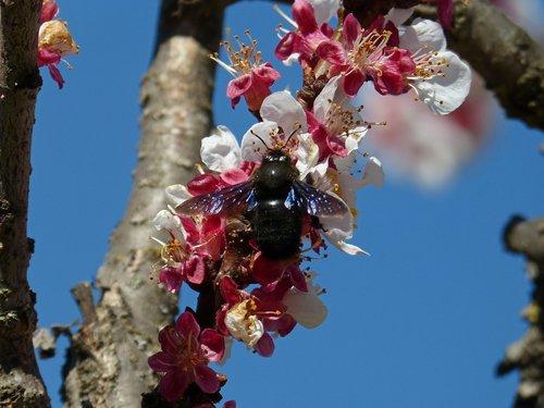 almond tree  flower  drone