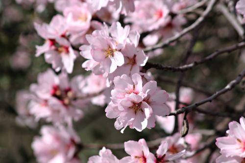 almond tree flower of the almond tree mediterranean