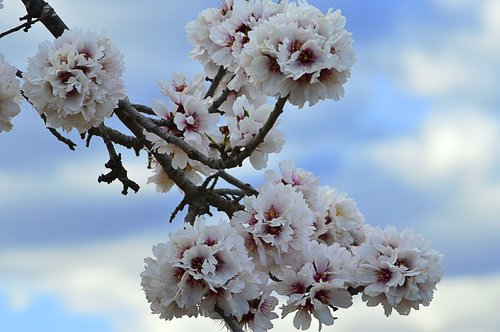 almond tree in blossom  flowery branch  flowering