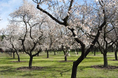 almond trees flowers spring