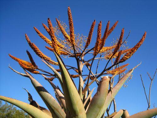 aloe plant succulent