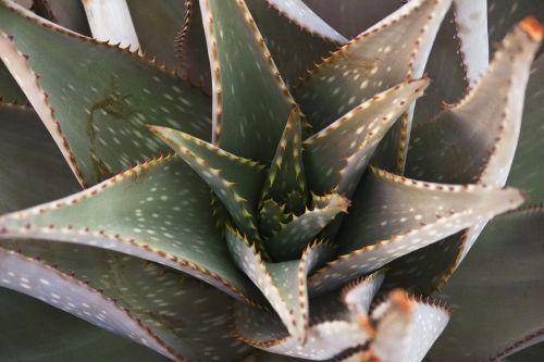 aloe succulent macro