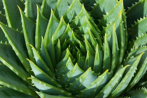 aloe  aloe vera  plant
