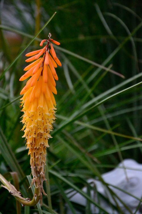 aloe flower orange