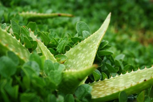 aloe plant green