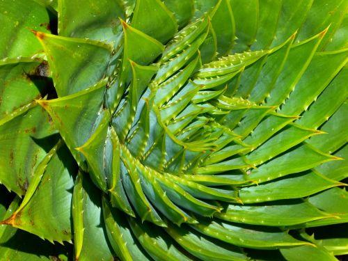 aloe succulent aloe polyphylla