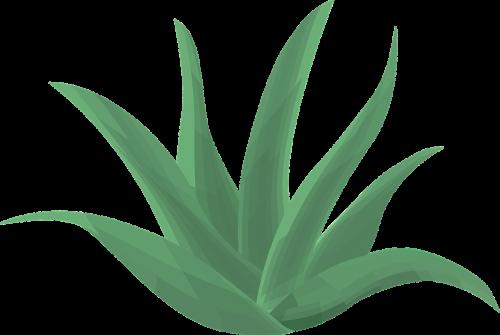 aloe vera plant green