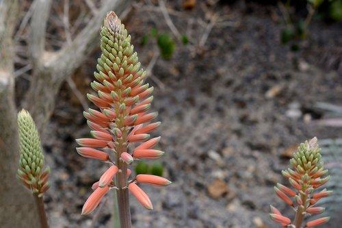 aloe vera  plant  blossom