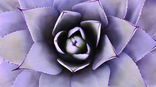 aloe vera  cactus  succulent