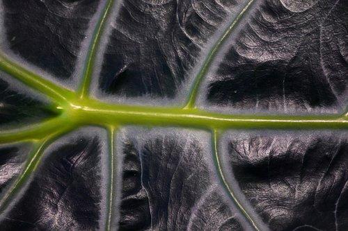 alokasie  houseplant  leaf